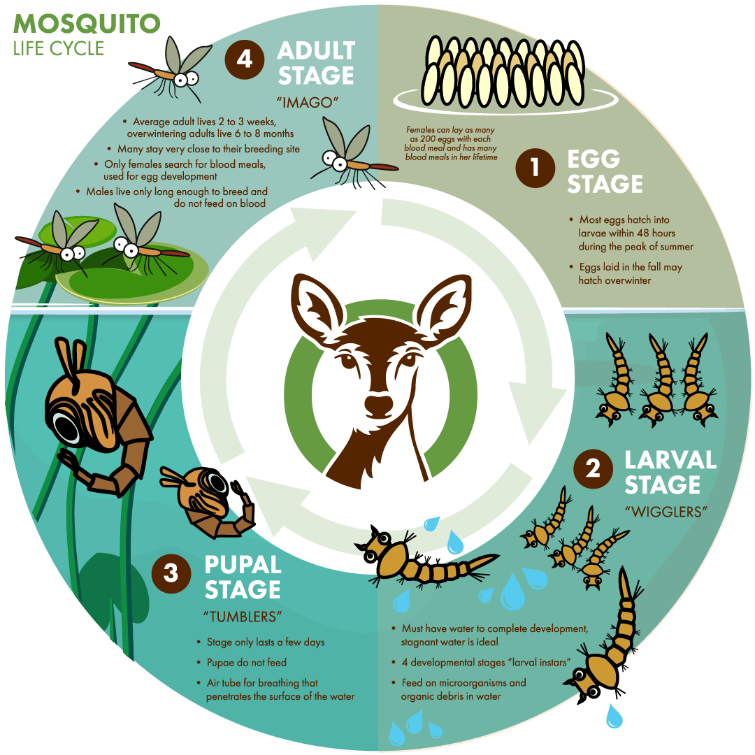 Mosquito Life Cycle Diagram